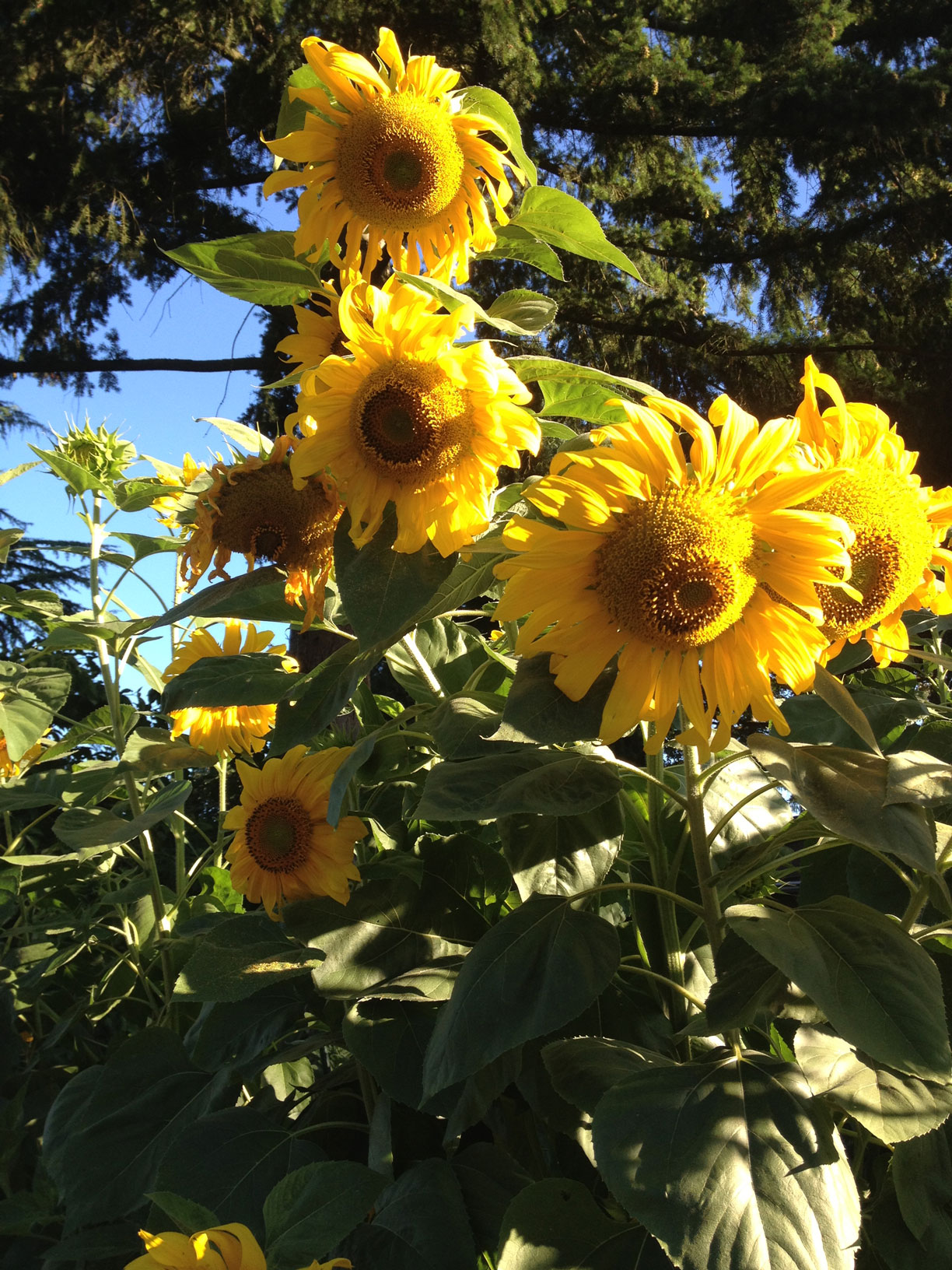 iphone_sunflowers